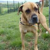 Haribo, Chien cane corso à adopter