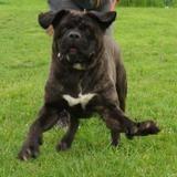 Goliathe vaa21602, Chien cane corso à adopter