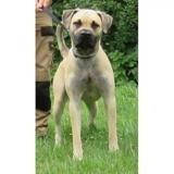 Sven vaa21650, Chiot cane corso à adopter