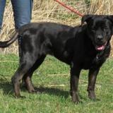 Kenya vaa21815, Chien cane corso à adopter