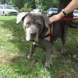 Blueberry (en placement provisoire), Chien cane corso à adopter