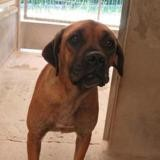 Lara, Chien cane corso à adopter