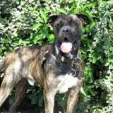 Johny, Chien cane corso à adopter
