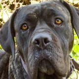 Diva, Chien cane corso à adopter