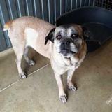Leeloo (en placement provisoire), Chien cane corso à adopter