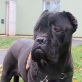 Nikita , Chien cane corso à adopter