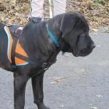 Baby, Chiot cane corso à adopter