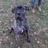 Oscar vaa22138, Chiot cane corso à adopter