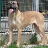 Naska, Chien cane corso à adopter