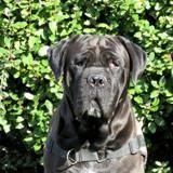 Paco réservé, Chien cane corso à adopter