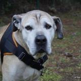 Tyson, Chien cane corso à adopter