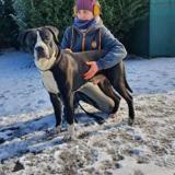 Noise vaa22762, Chien cane corso à adopter