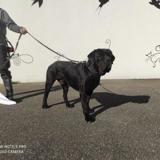 Iron vaa22812, Chien cane corso à adopter