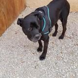 Harley, Chien cane corso à adopter