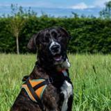 Dub (réservé) , Chiot cane corso à adopter