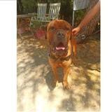 Tan, Chien cane corso à adopter