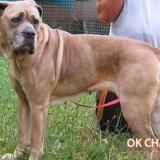Java, Chien cane corso à adopter