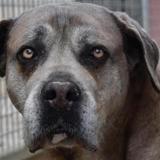 Guardia, Chien cane corso à adopter