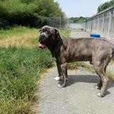 Narco vaa22937, Chien cane corso à adopter