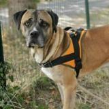 Lanco, Chien cane corso à adopter