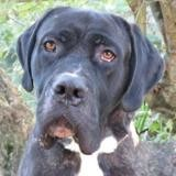 Piney, Chien cane corso à adopter