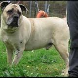 Hayko, Chien cane corso à adopter