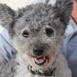 Fiona, Chien caniche nain à adopter