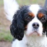 Isis haa22112, Chien cavalier king charles à adopter