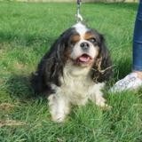 Funny girl, Chien cavalier king-charles à adopter