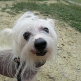 Fantasia, Chien chien chinois à adopter