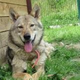 Neil, Chien chien loup de saarloos à adopter