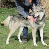 Plymouth vaa21422, Chien chien loup tcheque à adopter