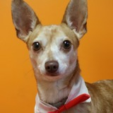Limon haa19984, Chien chihuahua à adopter