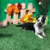 Tiago, Chien chihuahua à adopter