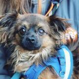 Calogero vaa22214, Chiot chihuahua à adopter