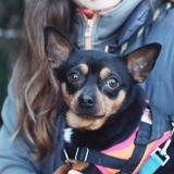 Rex vaa22225, Chien chihuahua à adopter