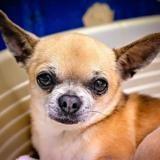 Julio (réservé), Chien chihuahua à adopter