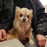 Dohann dit enzo, Chien chihuahua à adopter