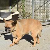 Tacha réservée, Chien chihuahua à adopter