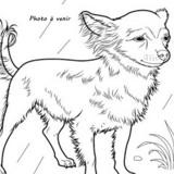 Indiana, Chien chihuahua à adopter