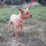 Ryona vaa23041, Chien chihuahua à adopter