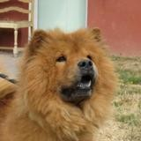 Bella, Chien chow chow à adopter