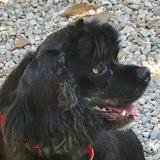 Listen, Chien cocker anglais (spaniel) à adopter