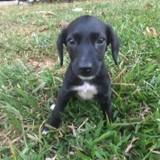 Lily, Chiot créole à adopter