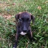 Rosy, Chiot créole à adopter