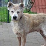 Fayko, Chien croisé / autre (akita inu) à adopter
