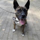Lola, Chien croisé / autre (akita inu) à adopter