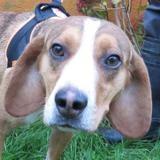 Ivanoe, Chien croisé / autre (basset/ beagle) à adopter