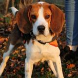 Lorde (réservé), Chien croisé / autre (beagle) à adopter