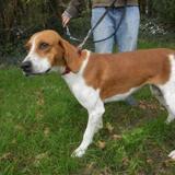 Margotte, Chien croisé / autre (beagle) à adopter
